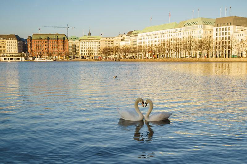 Schwäne mit Hälse in Form von einem Herz auf Alster in Hamburg